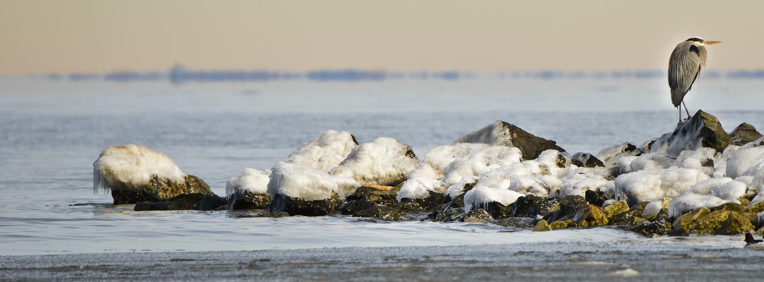Great Blue Heron on a frozen Chesapeake Bay in winter
