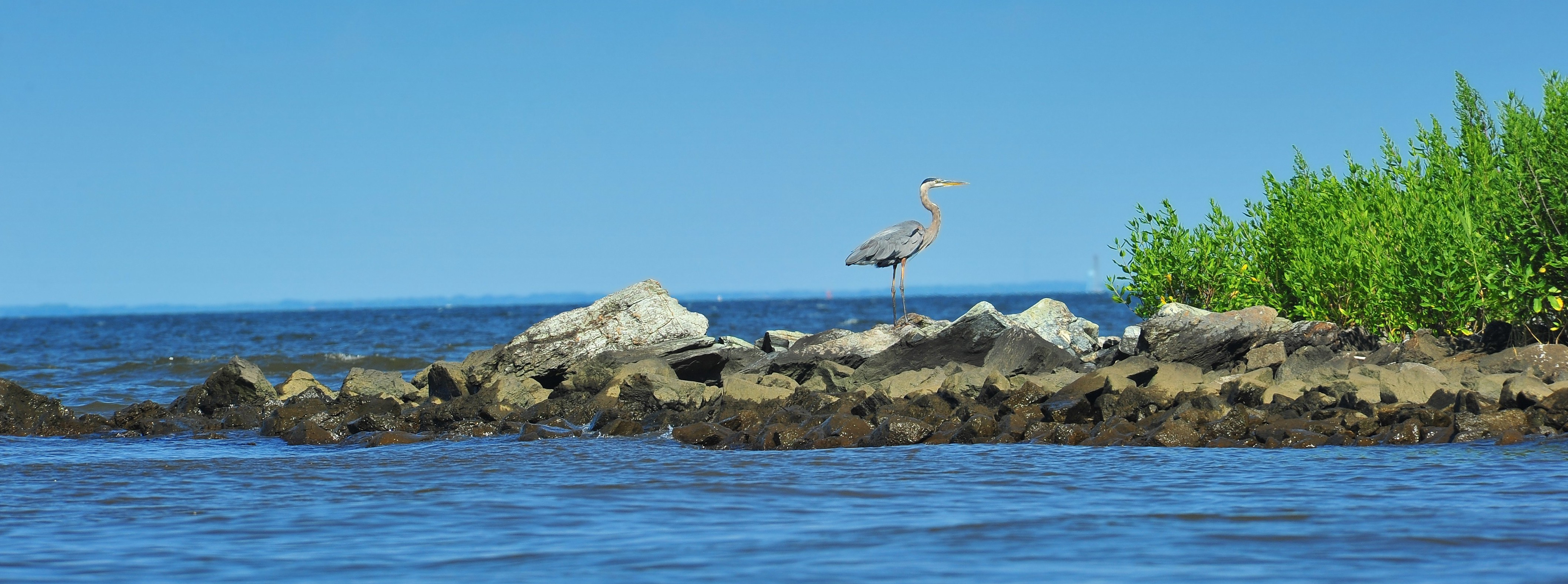 A Great Blue heron watching over the Chesapeake Bay in Maryland on a summer day